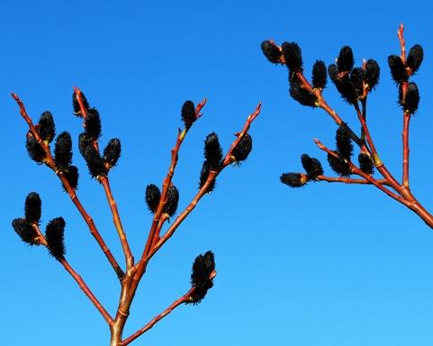 Salix gracilistyla var. melanostachys