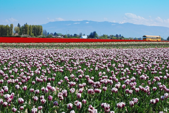 tulip fields with Mount Baker in the distance