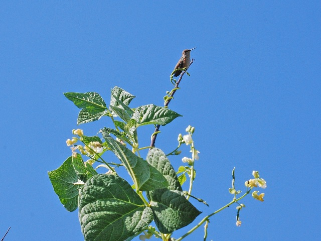 Rufous Hummingbird on a willow bean pole