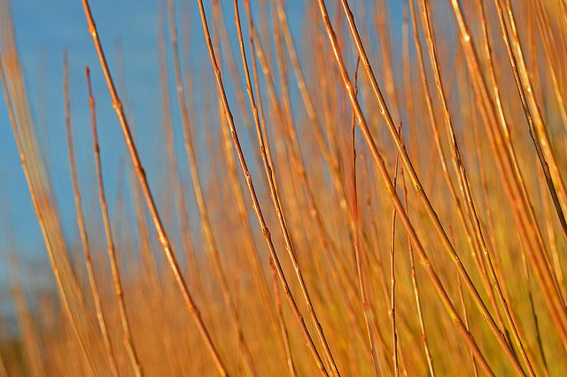 basketry willow in afternoon sun