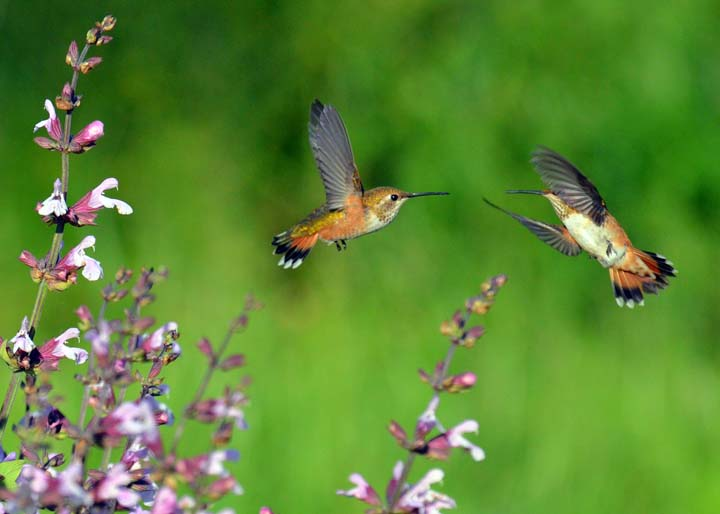 Two Rufous Hummingbirds by Steve Lospalluto