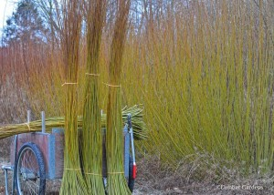 cutting basketry willow at Dunbar Gardens