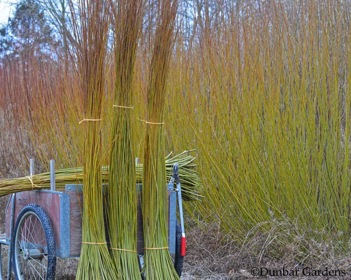 basketry willow harvest at Dunbar Gardens